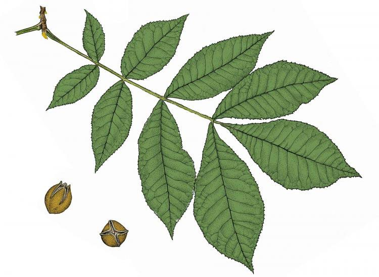 Bitternut hickory leaves and seeds