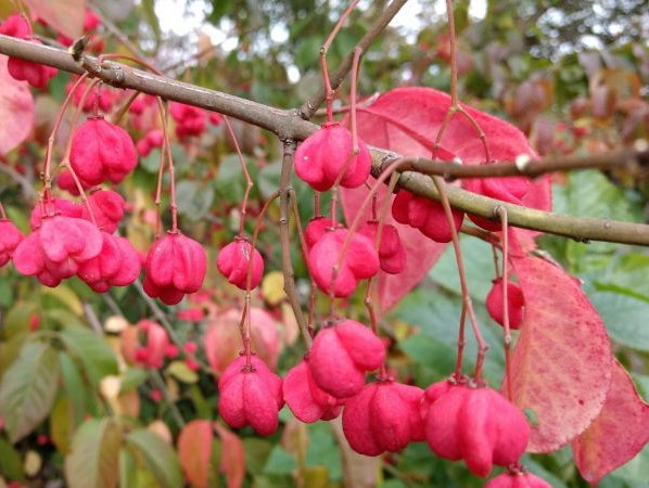 Spindle seeds